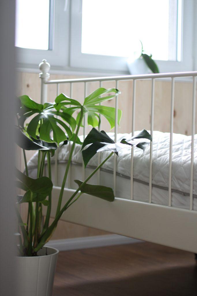 Zimmerpflanze Monstera